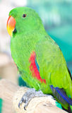 Green Parrot. Royalty Free Stock Photography