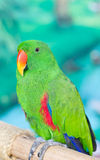 Green Parrot. Stock Photos