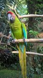 A green parrot sitting on a branch. royalty free stock photography