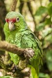 Green parrot sitting on a tree branch royalty free stock images