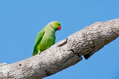 Green parrot sitting on tree trunk with green background. Rose-ringed Parakeet, Psittacula krameri, beautiful parrot in the nature.  Stock Photos