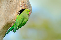 Green parrot sitting on tree trunk with nest hole. Nesting Rose-ringed Parakeet, Psittacula krameri, beautiful parrot in the natur. E Royalty Free Stock Image