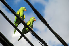 Green parrot sitting on a wire in the city Royalty Free Stock Photos