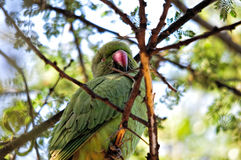 Green Parrot Sleeping Stock Photo