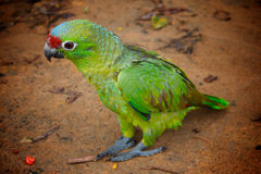 Green parrot standing on the sandy ground. Big green parrot standing on the brown sandy ground. Focus on body. Background blurred Stock Image