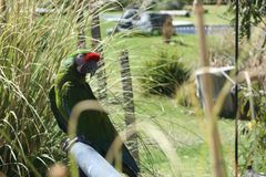 Green parrot taking a sunbath stock photo