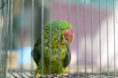 A green parrot trapped in a steel cage and staring at the camera. Pitifully Stock Photography