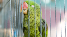 A green parrot trapped in a steel cage and staring at the camera Royalty Free Stock Images