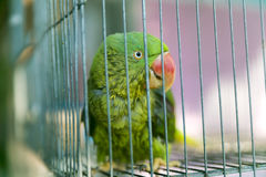 A green parrot trapped in a steel cage and staring at the camera. Pitifully Royalty Free Stock Photos