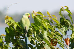 Green parrot on a tree Stock Photos