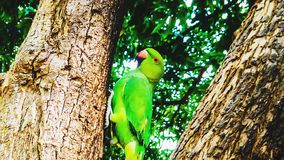 Green parrot. On a tree royalty free stock image