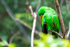 Green Parrot in Tree Stock Image