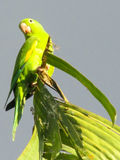 Green parrot on tree branch royalty free stock photos
