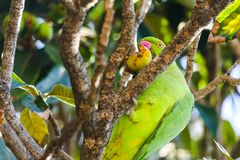 Green parrot on tree among leaves eating apple royalty free stock images