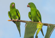 Green parrot on tree Stock Images