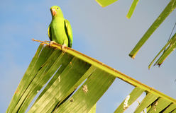 Green parrot on the tree royalty free stock photography