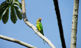 Green parrot on the tree royalty free stock image