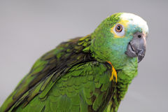 Green parrot under sunset Royalty Free Stock Photos