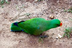 Green parrot walking on floor Royalty Free Stock Photos