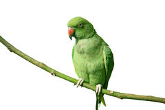 Green parrot on white background Royalty Free Stock Photography