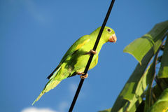 Green parrot on the wire royalty free stock images
