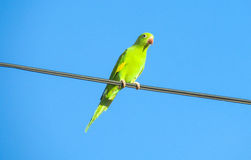 Green parrot on the wire stock photos