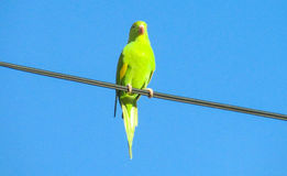 Green parrot on the wires stock photos