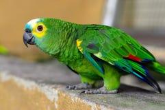 Green parrot, Yellow-chevroned Parakeet, Brotogeris chiriri sitting on a stone wall, Kuala Lumpur Bird park, Malaysia Stock Photo
