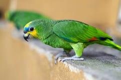 Green parrot, Yellow-chevroned Parakeet, Brotogeris chiriri sitting on a stone wall, Kuala Lumpur Bird park, Malaysia Royalty Free Stock Photos