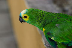 Green parrot, Yellow-chevroned Parakeet, Brotogeris chiriri sitting on a stone wall, Kuala Lumpur Bird park, Malaysia Royalty Free Stock Photography