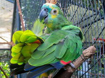 Green parrot in the zoo cage stock images