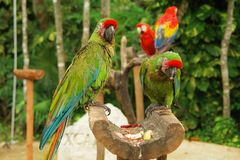 Green parrots. Couple of green parrots in a perch Royalty Free Stock Photography