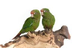 Green parrots Stock Images
