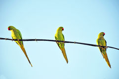 Green parrots. Three parrots sitting on electricity wire royalty free stock photos