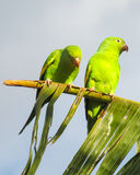 Green parrots on banana stock photography