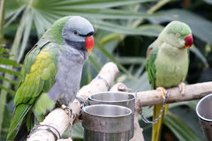 Green parrots stock image