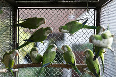 Green parrots Royalty Free Stock Photo