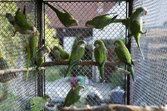 Green parrots Royalty Free Stock Image
