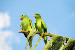Green parrots couple on the tree stock image