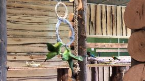 Green parrots fighting on a ring swing in Papugarnia in Warsaw, Poland. 4k stock footage
