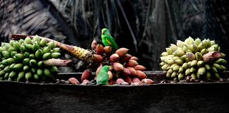 Green parrots on fresh bananas Royalty Free Stock Image