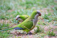 Green parrots in the grass in a city Park stock photo