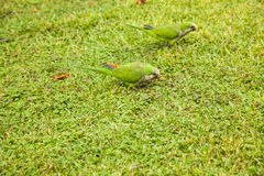 Green parrots on green glade Stock Photography