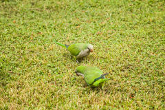 Green parrots on green glade Royalty Free Stock Photos