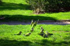 Green parrots hassle in green park