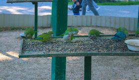 Green parrots sit in a cage Royalty Free Stock Photos