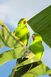 Green parrots royalty free stock images