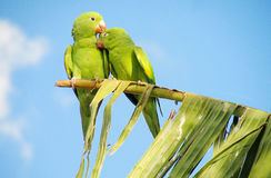 Green parrots sweet couple on the tree royalty free stock photos