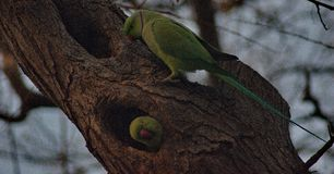 Green parrots on a tree. A picture of a green parrot looking at another green parrot inside a nest,in  a tree,in a park,in a greek town thessaloniki Royalty Free Stock Photo