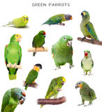 Green parrots on white Royalty Free Stock Image